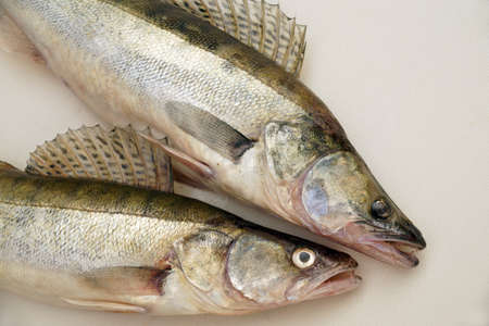 The effect of a fishing trip. Zander or pike perch (Lucioperca lucioperca) is the greater cousin of the American walleye. Standard-Bild