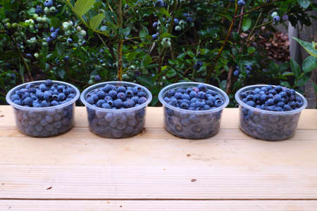 Containers filled with ripe fruit. Harvesting blueberry (Vaccinium corymbosum L.).
