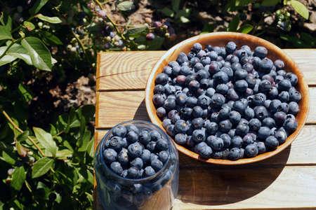 Highbush blueberry fruit harvest (Vaccinium corymbosum L.). Full summer.