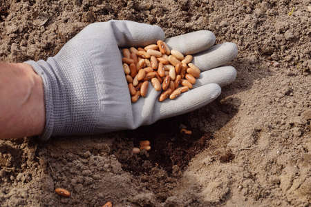 Spring garden work. A gloved hand filled with beans.
