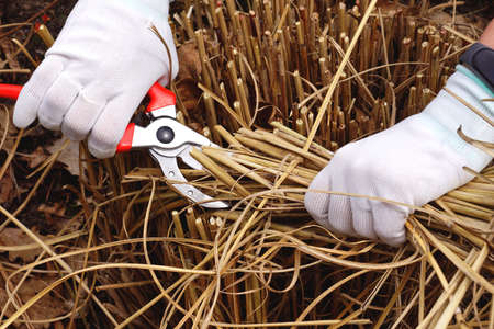 Pruning of last year's ornamental grasses of the Miscanthus type. Cutting the remains of last year's plants with a pruner. Early spring garden work.