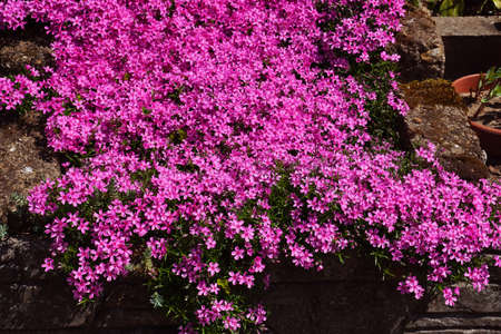 Hundreds of small pink flowers. Phlox subulata: creeping phlox, moss phlox, moss pink, or mountain phlox is a species of flowering plant creating flowered rugs.