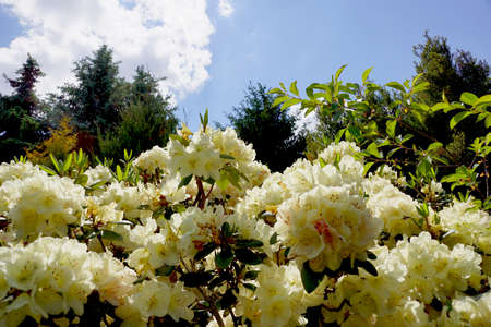 A close-up of flowers against the backdrop of a sunny sky. Intensive flowering of rhododendrons. Banque d'images