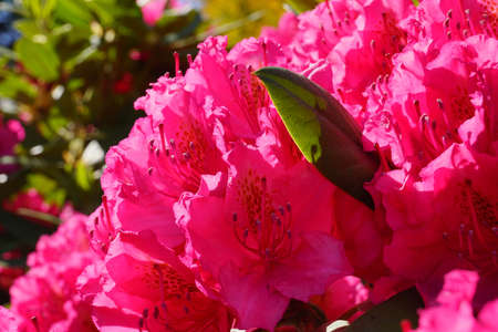 Intensive flowering of rhododendrons. A close-up of flowers against the backdrop of a sunny sky. Banque d'images