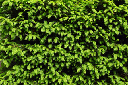 Spring in the garden. Neatly trimmed conifer: Picea abies 'Nidiformis'. Spring light green shoots. Banque d'images