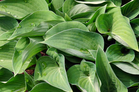 Hosta is a genus of plants commonly known as hostas, plantain lilies (in Britain) and occasionally by the Japanese name giboshi. A clump of first spring leaves. Banque d'images