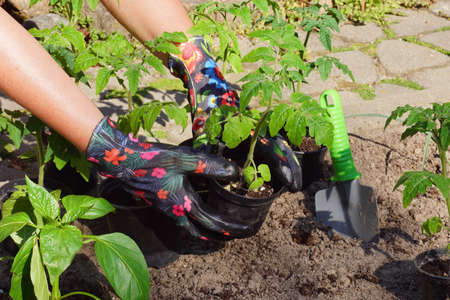 Tmato seedlings in pots. Planting young plants into the ground. Banque d'images