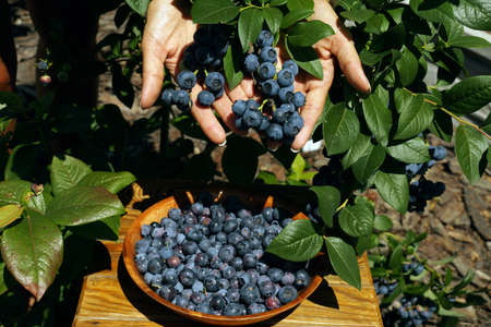 The woman is showing the ripe fruits. Blueberry fruit harvest time. Banque d'images