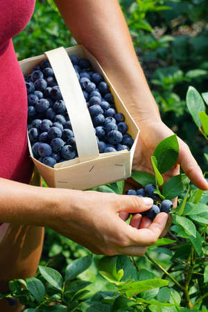 The woman collects ripe fruit into a wooden basket. Blueberry fruit harvest time.