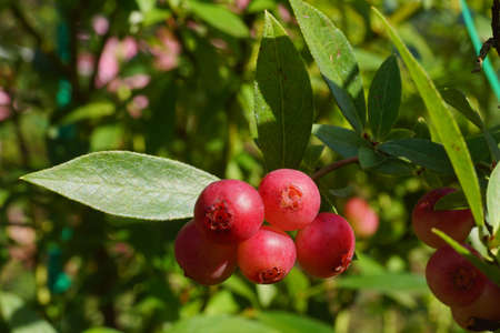 'Pink Lemonade' is an unusual and unique variety of american blueberry, as the name suggests, ripens in a light pink color.