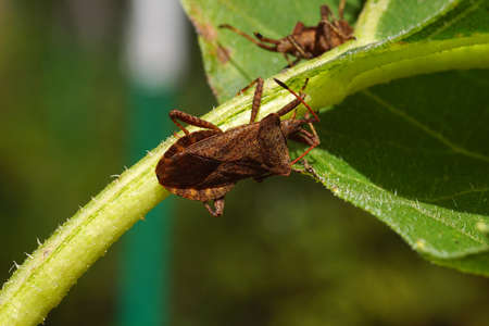 Alien and invasive insect in Europe. Still inhabiting new areas. The western conifer seed bug (Leptoglossus occidentalis).
