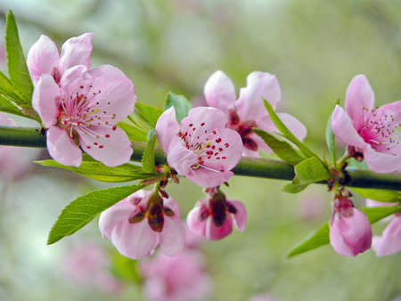 gentile: gentile flowerses of the peach at spring solar day