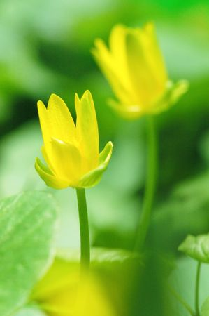 gentile: Buttercups Stock Photo