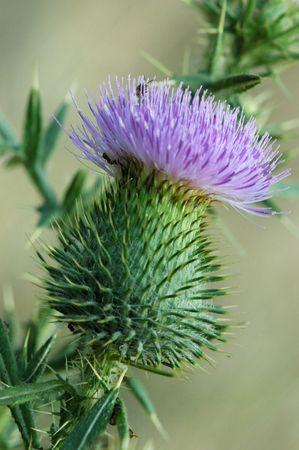 thistle: Flowering thistle Stock Photo