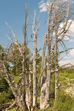 high sierra: Dry withered trees - High Sierra, California Stock Photo