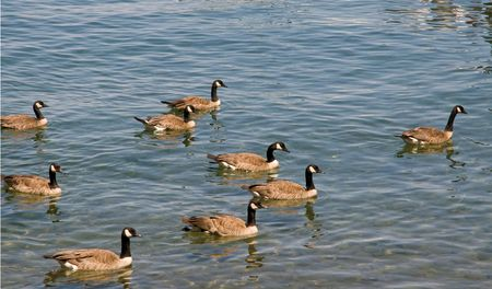 Canadian geese floating on lake Tahoe surface Stock Photo - 3347122