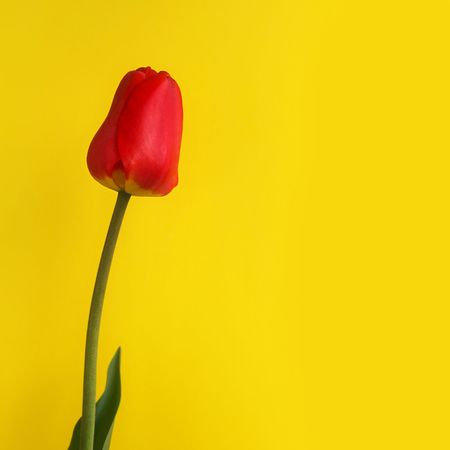 Lonely red tulip on a yellow background, soft focus photo