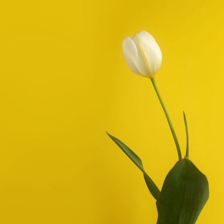 Lonely white tulip on a yellow background, soft focus  photo