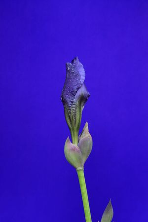"Unblown Iris barbata ""Lady"" Blume, Iris germanica"