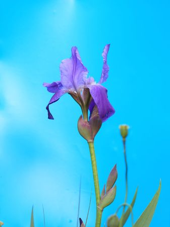 Beautiful Iris barbata Lady flower against, Iris germanica photo