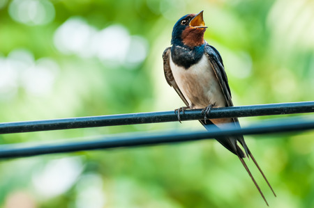 Beautiful swallow bird singing on wire against green bokeh background Stok Fotoğraf