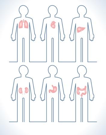 esofago: Conjunto de piezas de anatom�a humana: h�gado, coraz�n, ri��n, pulm�n, est�mago y es�fago Vectores
