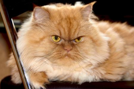 Persian red cat