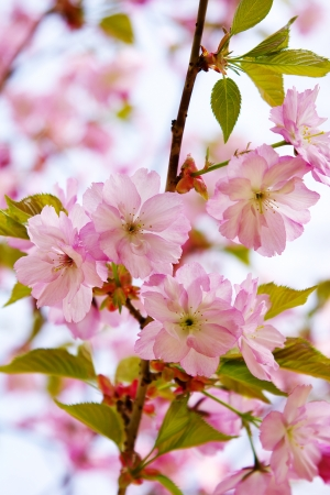 Flowering Japanese cherry - Sakura  photo