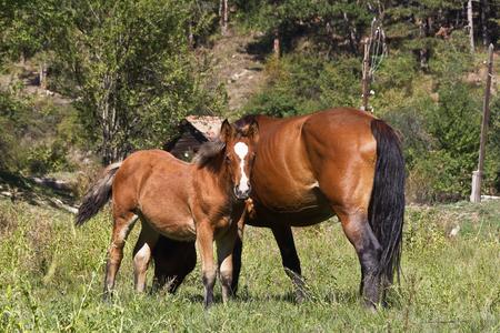 yegua: Yegua con el potro recién nacido en el pasto