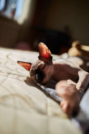 A cat of the Canadian Sphynx breed is played on the bed in the morning. thoroughbred Sphynx cat close up. soft focus. Sphynx cat of light color with a dark nose