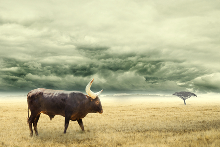 African cattle standing in dry African savana with heavy dramatic clouds above