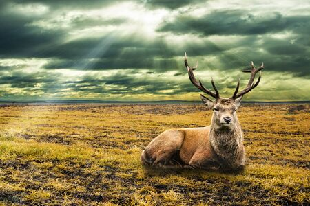 Deer laying down in dry a field and with snow flakes falling down. Dramatic sky with sun beams