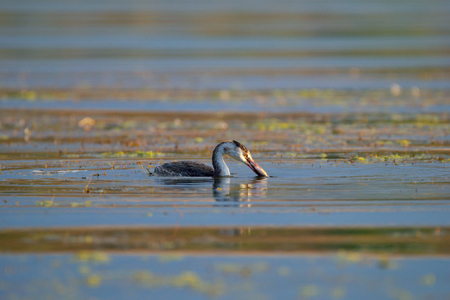 crested duck: wild duck great crested grebe is fishing in the evening at Lake Issyk-Kul, Kyrgyzstan Stock Photo