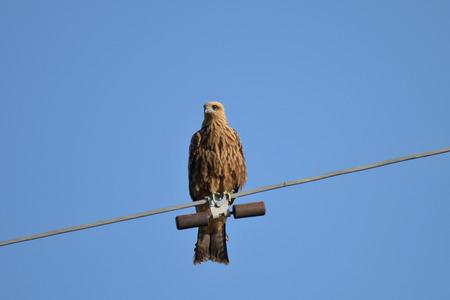 copyspase: black kite looking for preyy, Kyrgyzstan