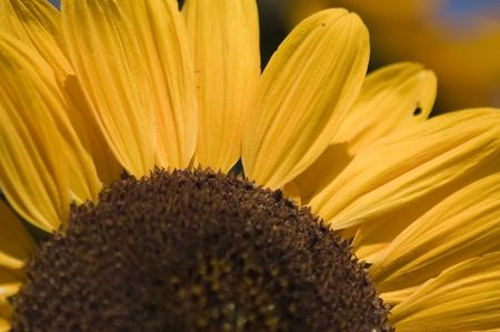 closup of a sunflower with insects photo