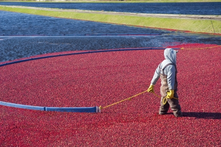 Man harvesting the cranberries in the field