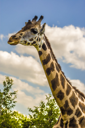 savana: Close-up shot of a giraffe neck and head