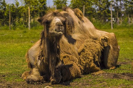 view of a camel laying in the grass Stock fotó