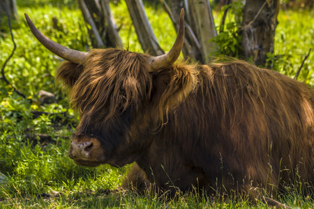 close-up shot of a highland cattle laying in the grass Stock fotó