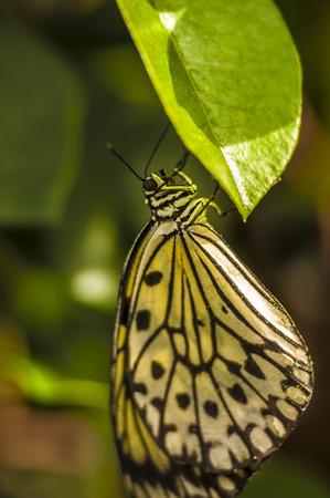 Closeup macro shot of a butterfly a on leaf Stock fotó