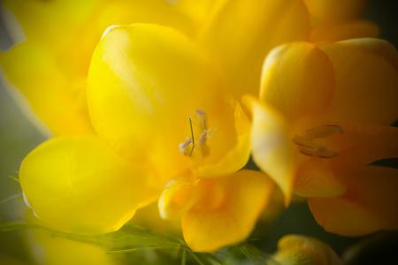 Blooming Freesia