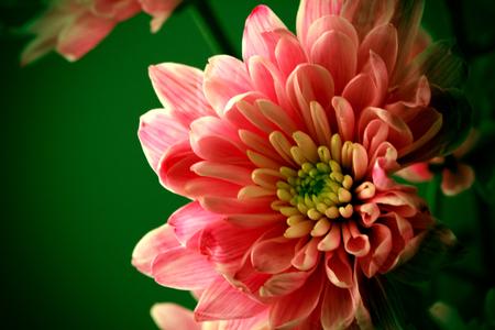 Flower Head of Beautiful Chrysanthemum 免版税图像