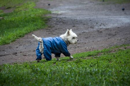 A small white dog with a blue suit walks on the wet green grass.