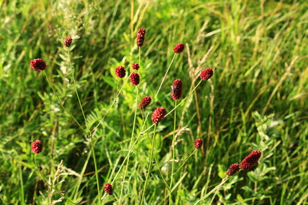 sanguisorba: Burnet (lat. Sanguis? Rba) ? genus of perennial rhizomatous plants of the Rose family Stock Photo