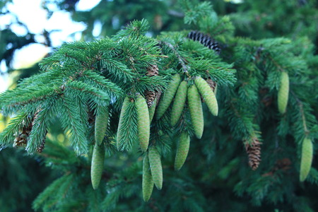 Coniferous tree up to 30 m thick Crown shirokolashka, with a pointed apex. Bark fissured, gray. Cones ovate-cylindrical, brown. Has several subtypes, differing in color of the needles from pure green to silver and even gold. Stock Photo
