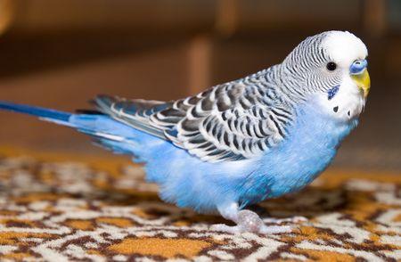 Parrot decorative photo