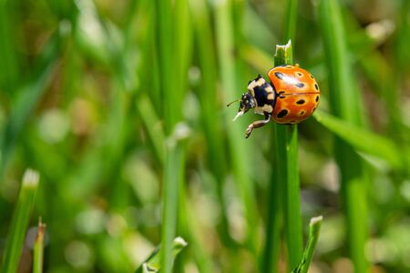 a little ladybug on a green blade of grass wants to fly away