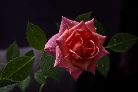 pink rose in a low key on a dark background closeup