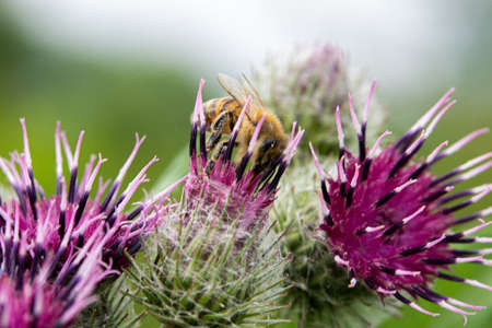 Flowering Cotton Thistle Thistle buds and flowers on a summer field closeup