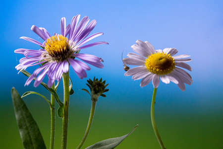 white and blue Daisy against the blue sky closeup Stockfoto